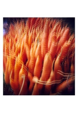 Bouquet of carrots